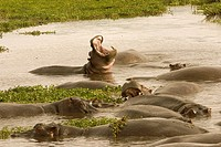 Hippopotamus amphibious. Hippopotamus. Ngorongoro conservation area. Tanzania. Africa.