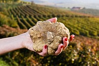 White truffles from Piedmont, Italy, in the hands of a woman in the background a landscape of hills with vineyards of Langhe.