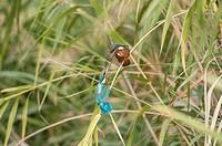 Kingfisher Alcedo atthis, juvenile. Flix, Tarragona province, Catalonia, Spain.