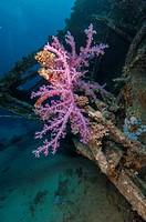 Soft Coral Alcyonium. Red Sea, Sharm el-Sheikh, Egypt.