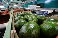 Computerized Avocado sorting and packing plant. Photographed in Israel.