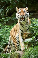 Close-up of a Siberian tiger (Panthera tigris altaica) in late summer.