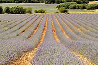 Lavender fields in Brihuega (Guadalajara), Spain.