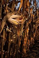 Drying corn crop in early autumn.