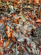 Dead and decomposing leaves in early winter