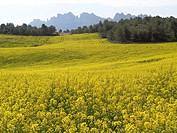 Rapeseed plantation (Brassica napus). Catalonia, Spain.