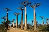 Local people walking through Baobab Alley (Grandidier´s Baobab trees Adansonia grandidieri Baill. ) near Morondava, Western Madagascar.