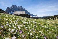 Flowers bloom on the meadows at the foot of the Odle. Malga Gampen Funes Valley. South Tyrol Dolomites Italy Europe.