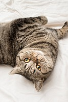 British shorthair cat lying down on its back in a bed, looking up.