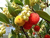 Irish strawberry tree (Arbutus unedo). Catalonia, Spain.