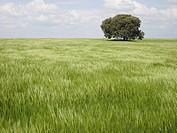 Green wheat field, Huesca province, Aragón, Huesca, Spain.
