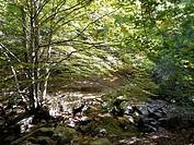 Beech tree (Fagus sylvatica). Catalonia, Spain.