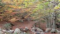 Autumn.Beech tree forest (Fagus sylvatica). Catalonia, Spain.