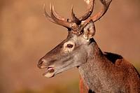 deer (Cervus elaphus) in Sierra Morena. Cordoba.