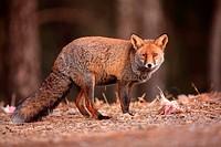 one-eye fox (Vulpes vulpes) in Sierra Morena. Córdoba.
