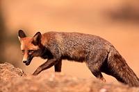 fox (Vulpes vulpes) in Sierra Morena. Córdoba.