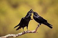 crow (Corvus corax) in Sierra Morena. Córdoba.