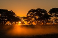 Camel thorn or giraffe thorn trees (Vachellia erioloba = Acacia erioloba). Haina Kalahari Lodge. Botswana.