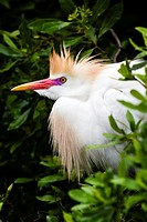 Cattle Egret (Bubulcus ibis ) in breeding colors.