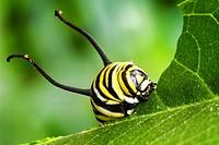 Close-up macro view of a Monarch Caterpillar (Danaus plexippus) eating a leaf.