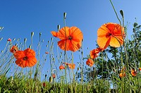 Poppies(Papaver rhoeas)Extremadura.Spain