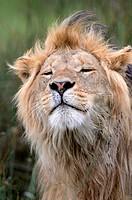 Mane lion (Panthera leo), portrait. Seregeti NP. Tanzania