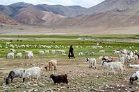 Pashmina goats in a nomads campsite during their summer festival of Tso Moriri lake, Ladakh (India).