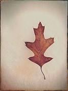 Pin oak leaf on snow