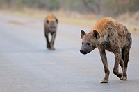 Spotted Hyenas (Crocuta crocuta), walking on a tarred road, early in the morning, Kruger National Park, South Africa, Africa.