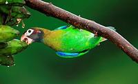 Pionopsitta haematotis, Loro Cabecipardo Lora, en Boca Tapada, Costa Rica.