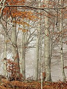 Autumn misty beech forest (Fagus sylvatica). Montseny Natural Park. Barcelona province, Catalonia, Spain.