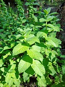 False apple mint (Mentha rodundifolia)