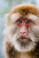 Mt. Emei, Sichuan province, China - Close up of the cute macaque in the wild.