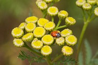 A convergent lady beetle, or Hippodamia convergens, on a Tansy weed, or Tanacetum vulgare.
