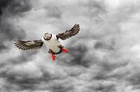 Atlantic Puffin (Fratercula arctica) flying against dark cloudy overcast sky, Varanger penninsula, Norway.