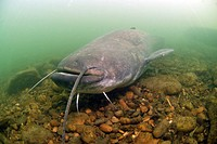 Head of a big european catfish or wels catfish swimming in Rhône river, France. Silurus glanis.