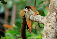 Mono Titi(Saimiri oerstedii) en el Parque Nacional de Corcovado, Peninsula de Osa, Costa Rica.