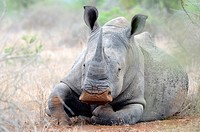 White rhinoceros or Square-lipped rhinoceros (Ceratotherium simum), lying down, head raised, covered with flies, Kruger National Park, South Africa, A...