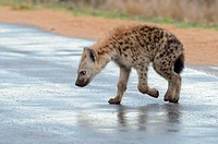 Spotted hyena (Crocuta crocuta), cub, walking on a wet road, after the rain, Kruger National Park, South Africa, Africa.
