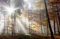 Sunbeams in beech forest in autumn, Spessart, Bavaria, Germany, Europe.