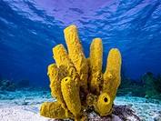 Yellow Tube Sponge -Aplysina fistularis-Metazoa -Los Roques. Venezuela.