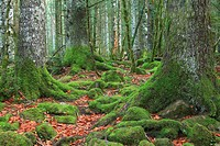 beech and fir forest in the valley of Ordesa. Ordesa National Park. Huesca.