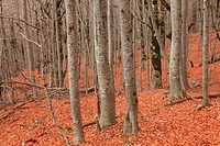 Beech forest in the valley of Ordesa. Ordesa National Park. Huesca.