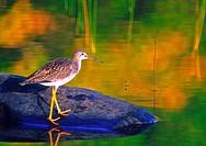 A yellowlegs shorebird