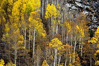 Fall colors have arrived to the Sierra Neveda Mountains adjacent to Owens Valley, California.