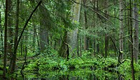 Deciduous stand of Bialowieza Forest in springtime rain after with old oak and spruce in background,Bialowieza forest,Poland,Europe.