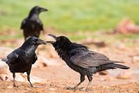 Common Raven (Corvus corax). Campo de San Pedro, Segovia province, Castile-Leon, Spain.