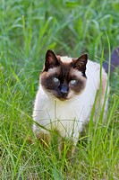 A Siamese cat outdoors in tall grass.