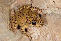 Majorcan midwife toad (Alytes muletensis), Serra de Tramuntana, Majorca, Balearic Islands, Spain