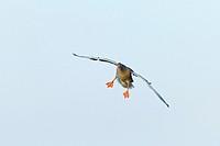 Greylag goose (Anser anser), Hesse, Germany, Europe.
